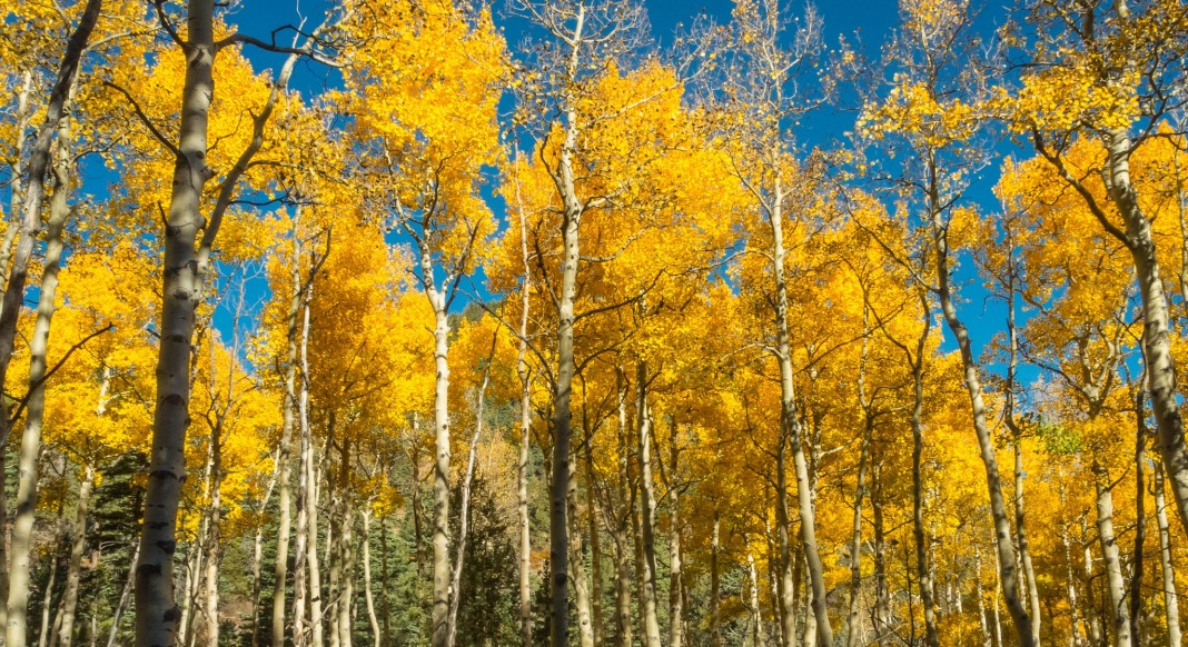 Image result for Pando Tree